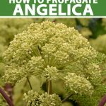 A close up vertical picture of a large Angelica archangelica flower head before it is setting seed, the white flowers contrasting with the light purple stems, pictured on a soft focus background. To the top and bottom of the frame is green and white text.