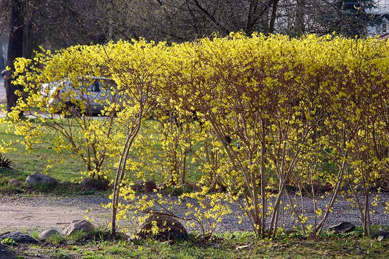 A hedge with bright yellow flowers next to a driveway, pictured in bright sunshine.