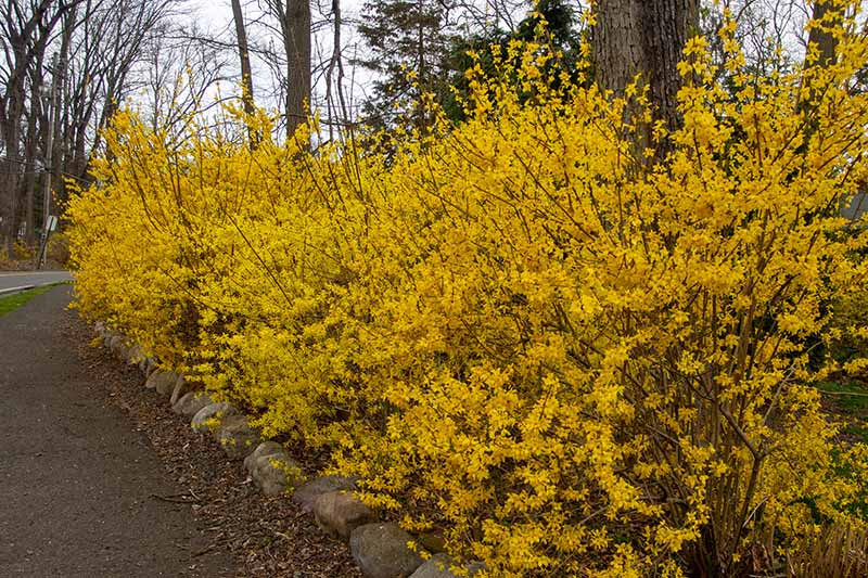 An informal forsythia hedge in full bloom with bright yellow flowers growing along the side of a driveway under trees.