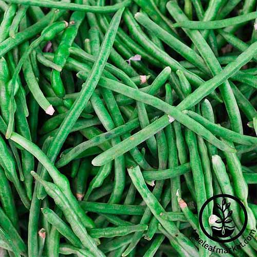 A close up of the fresh green Phaseolus vulgaris 'Jade' beans. To the bottom right of the frame is a black circular logo and text.
