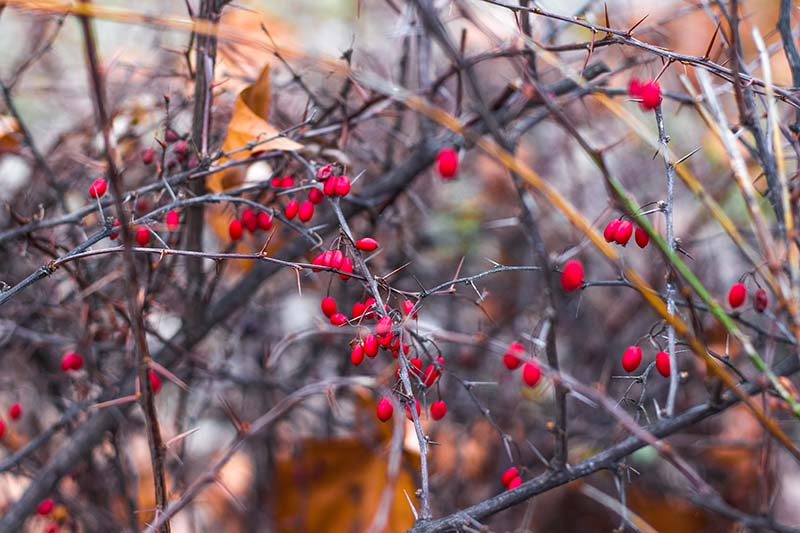 A close up of the red fruit of the Japanese barberry bush.