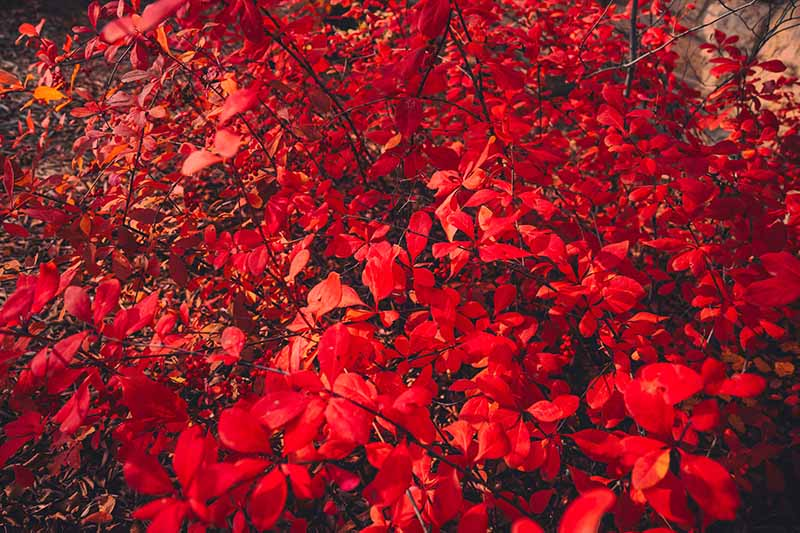 A close up of the bright red foliage of the Japanese barberry shrub in autumn.