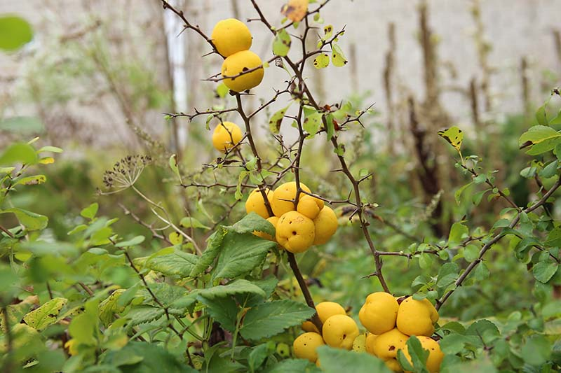 A close up of the fruit and thorns of the flowering quince plant on a soft focus background.
