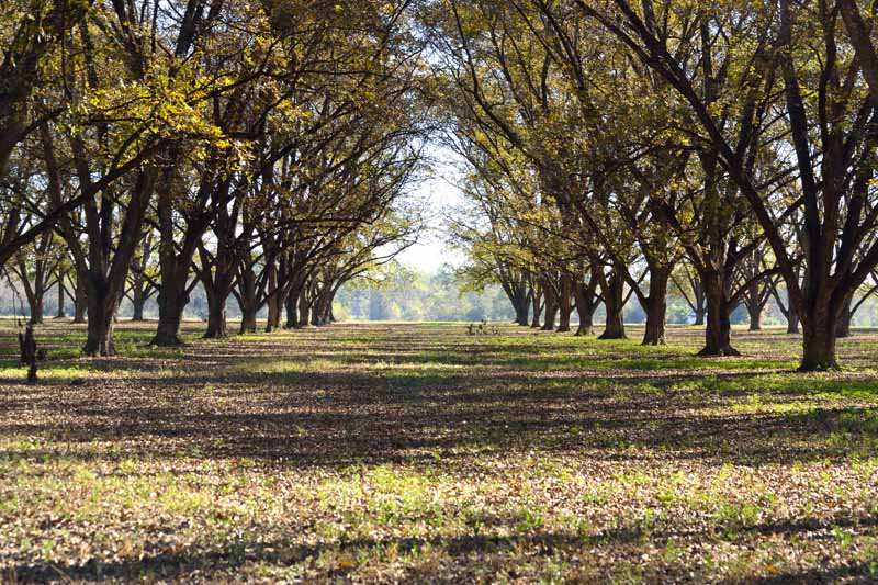 A photo of a shady pecan grove showing a sparsely plant populated lane between rows.