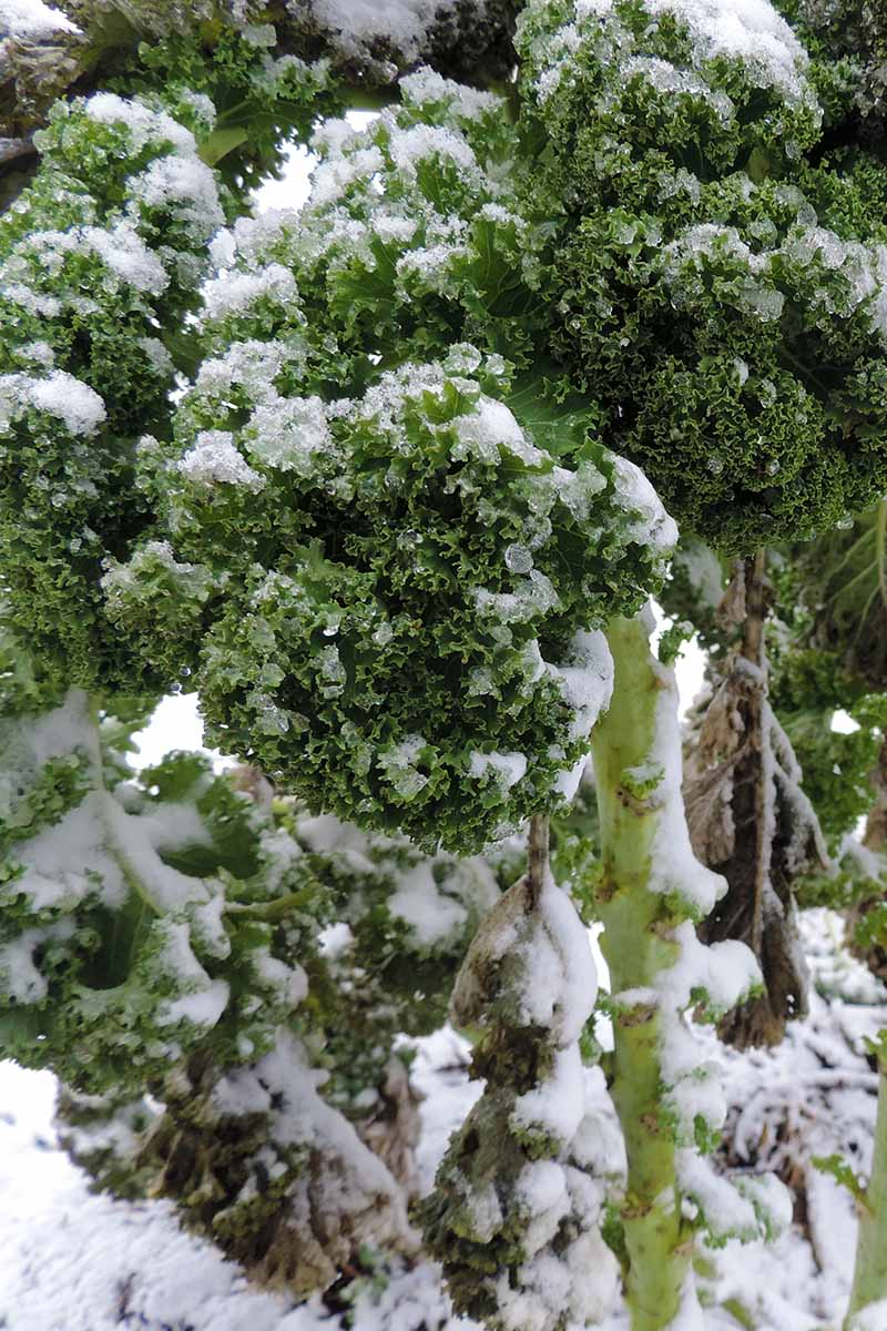 A vertical close up picture of a Brassica oleracea plant with curly leaves and thick stalks, growing in the garden in winter and covered in a light dusting of snow.
