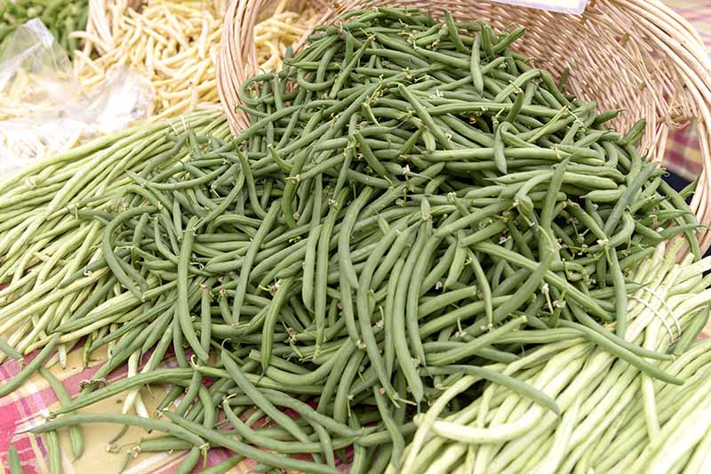 A close up of a large wicker basket overflowing with green bush beans at a farmer's market with various other vegetables in soft focus in the background.