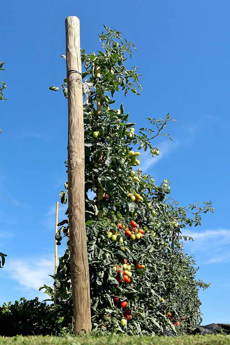 A vertical picture of a large tomato plant supported by a telegraph pole, with a blue sky in the background, pictured in bright sunshine.