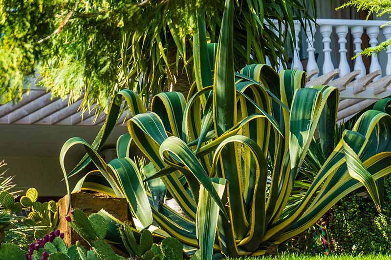 A close up of a large variegated Agave plant with yellow and green spiky leaves and a house in the background.