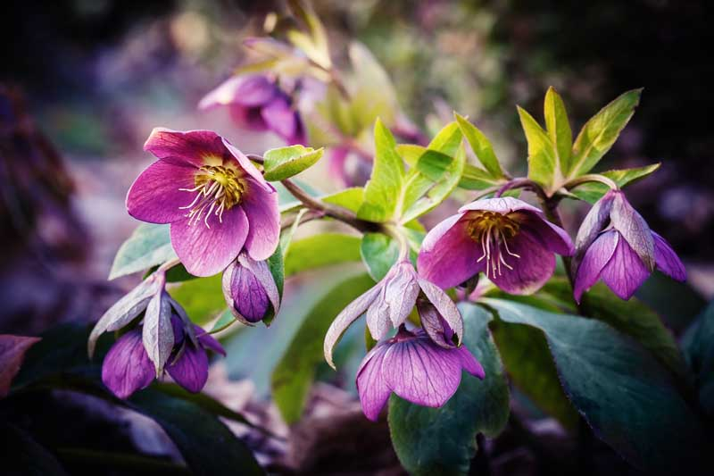 Pink-Purple hellebore flowers with vegetation.