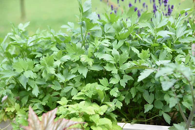 A close up of lovage growing in a container with a variety of other herbs on a soft focus background.