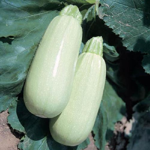 A close up of Cucurbita pepo 'Lungo Bianco' growing in the garden.