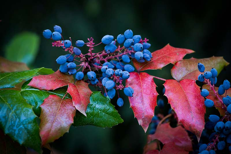 A close up of the blue fruit and red autumn leaves of the Oregon grape or mahonia plant on a soft focus background.