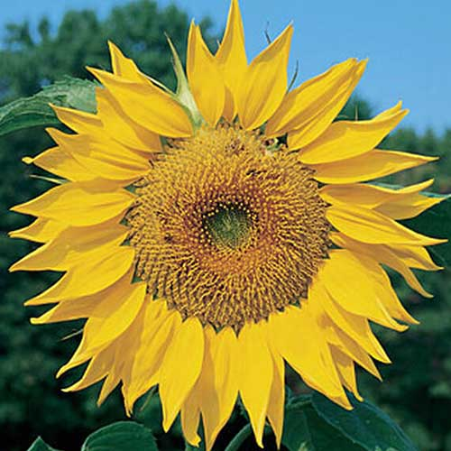 A close up of Helianthus annuus 'Mammoth Russian' flower with blue sky in the background.