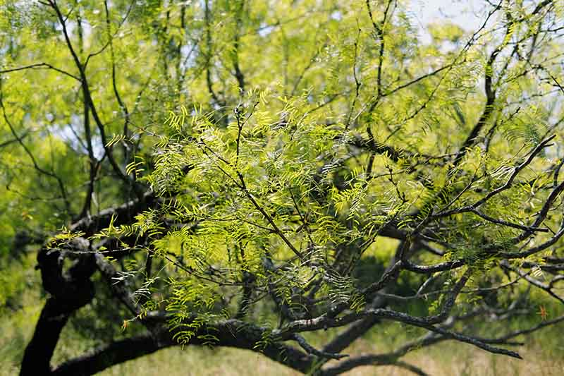 A close up of the foliage of the mesquite tree pictured in bright sunshine.