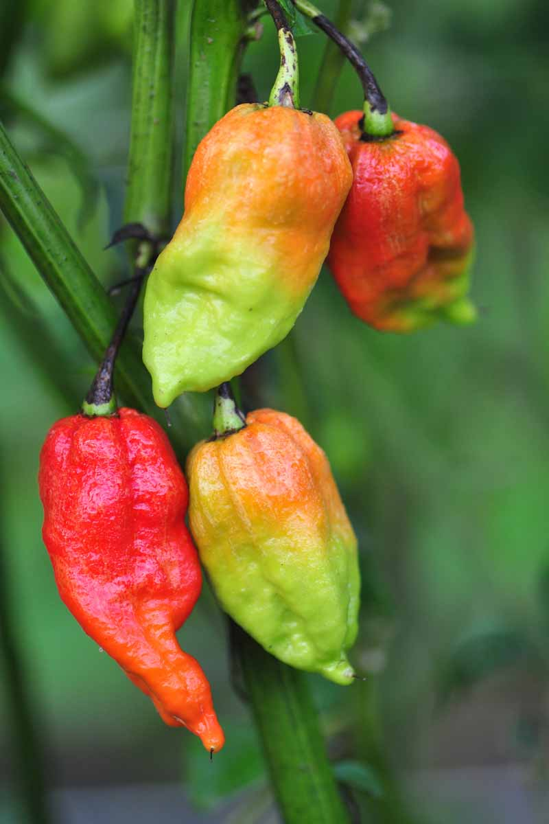 A vertical close up of 'Bhut Jolokia' fruits in various stages of ripeness, growing from the plant, pictured on a soft focus background.
