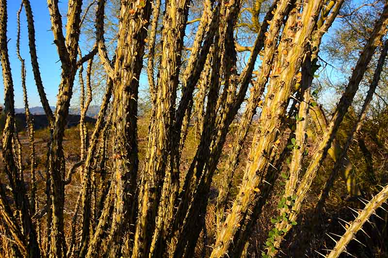 A close up of the thorny stems of the ocotillo plant growing in the landscape with blue sky in the background.