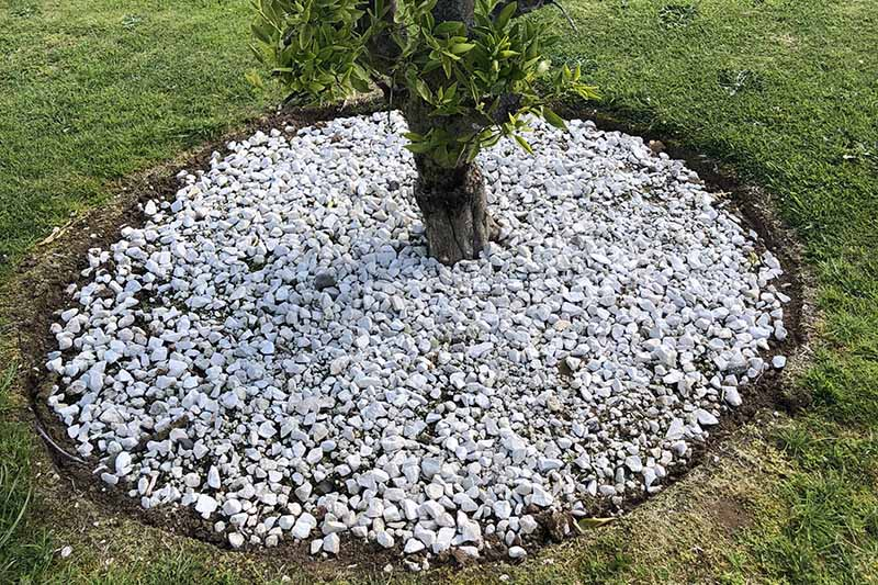 A close up picture of a small tree surrounded by decorative stones at the base to give a tidy appearance and prevent weeds.