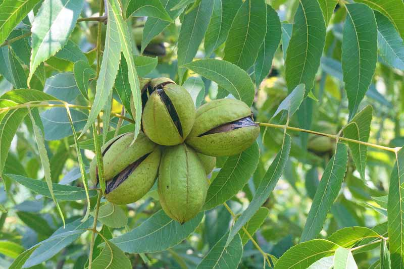 A cluster of four pecans in green husks hanging from a tree branch.