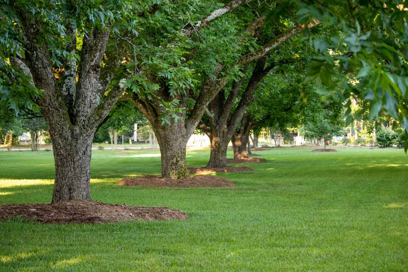 A row of pecan trees inside of a landscaped public park.