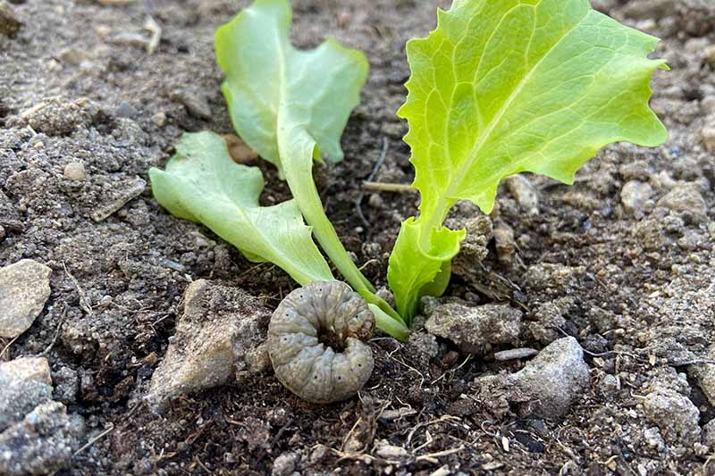A close up of a maggot pest at the base of a lettuce plant which will burrow down and damage the plant, on a soft focus background.