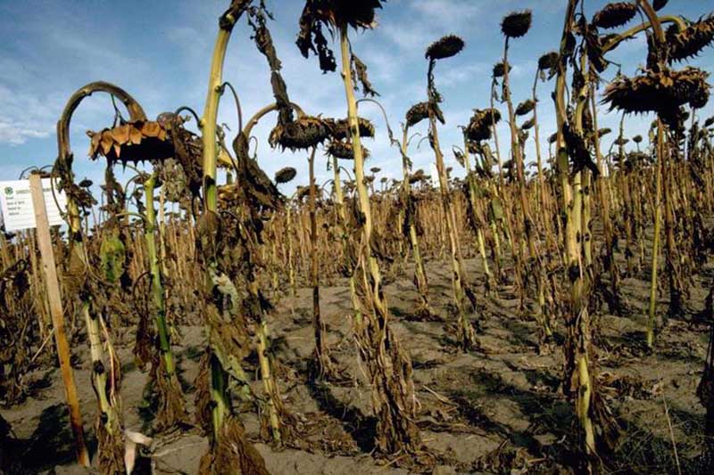 A close up of a large plantation of sunflowers afflicted by a disease and all the plants dying off.