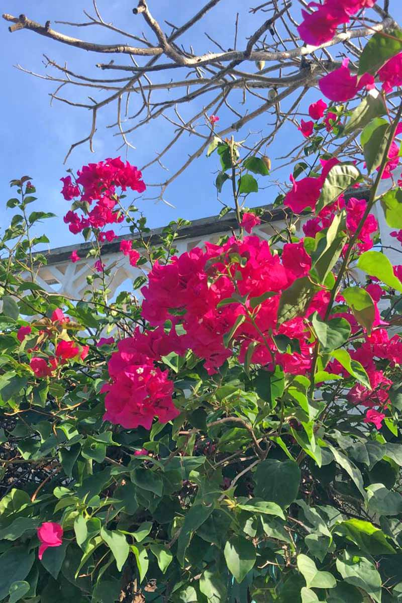 A close up of the bright pink flowers of bougainvillea with a white balcony and blue sky in the background.