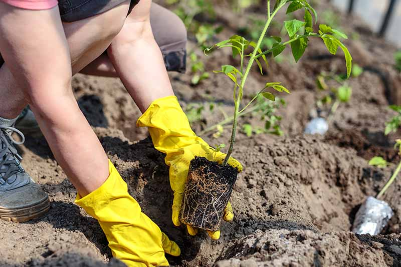 A close up of two hands from the left of the frame wearing yellow gloves, placing a seedling into a hole in the soil, pictured in bright sunshine on a soft focus background.