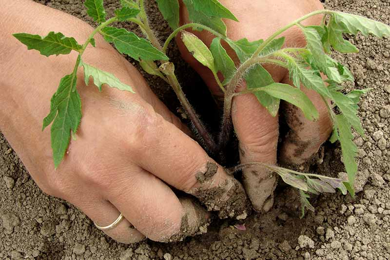 A close up of two hands from the left of the frame carefully placing a small tomato seedling into thick, dense earth.