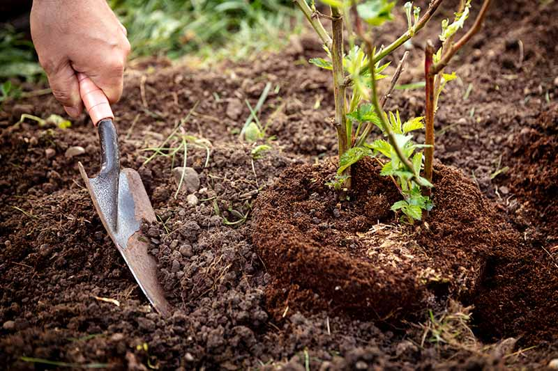 A close up of a hand from the left of the frame with a small garden trowel, planting a boysenberry shrub in the garden in dark, rich soil.
