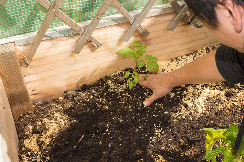 A close up of a hand from the right of the frame planting a small seedling into rich soil in a raised garden bed made from wood.