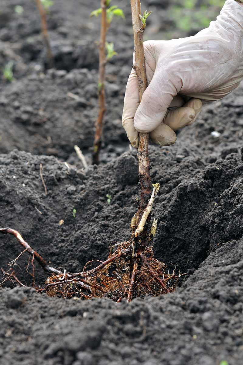 A vertical close up of a gloved hand from the right of the frame planting a bare root tree into dark, rich soil.