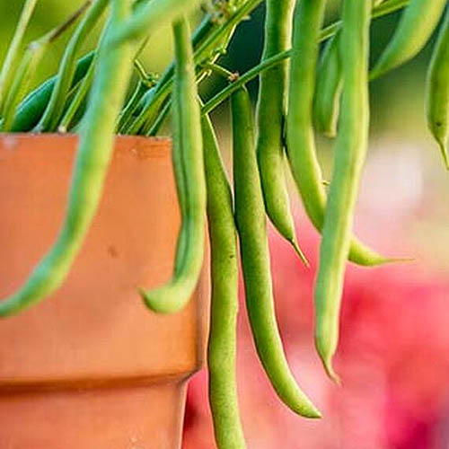 A close up of a terra cotta pot with a Phaseolus vulgaris 'Porch Pick' plant growing with ready-to-harvest green beans on a soft focus background.
