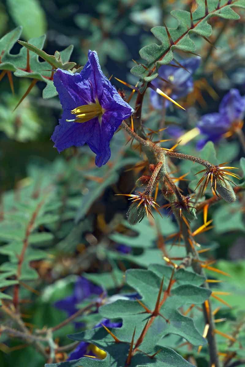A vertical close up of the bright purple flower and orange thorns of the porcupine tomato plant growing in the garden.