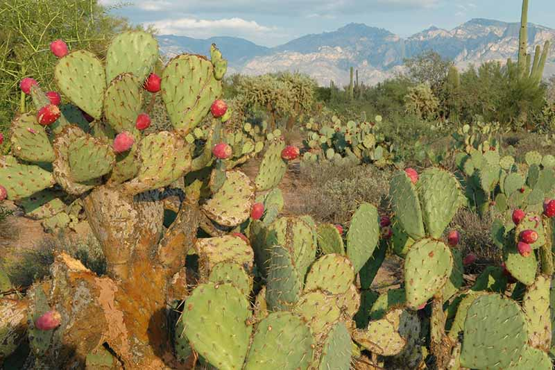 A close up of a prickly pear cactus growing in the desert landscape.