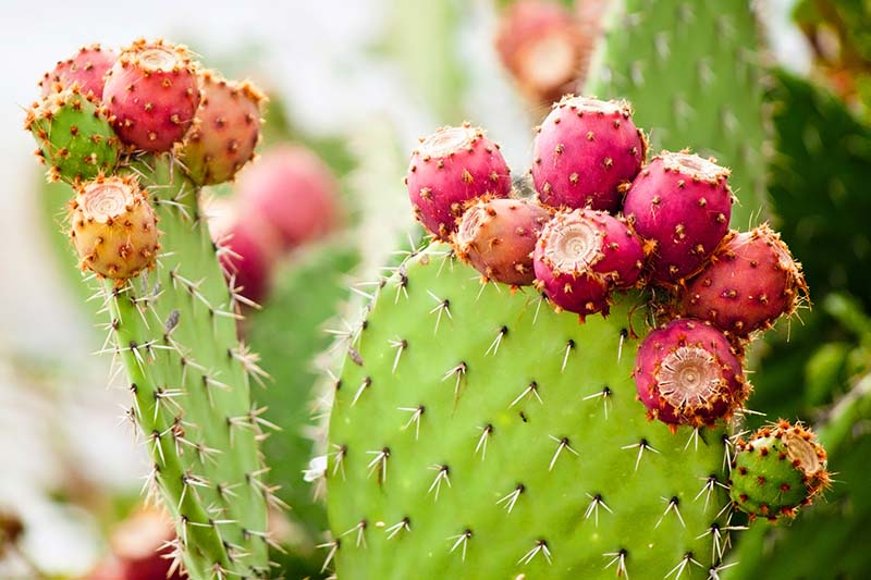 A close up of the spines and fruit of the prickly pear cactus on a soft focus background.