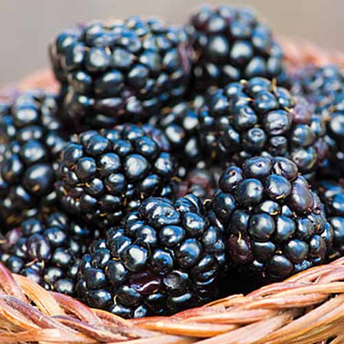 A close up of freshly harvested 'Prime Ark 45' blackberries in a wicker basket.