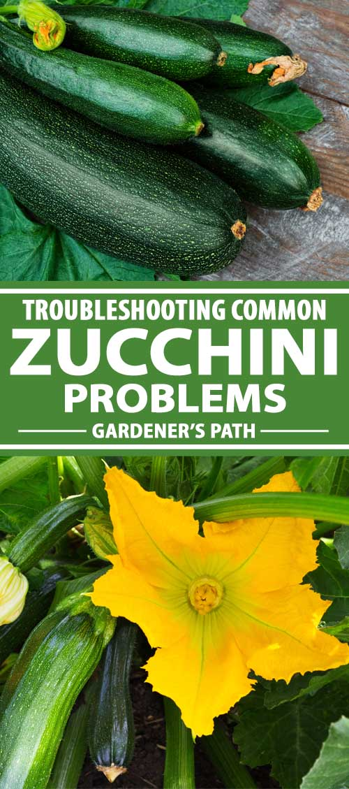 A collage of photos showing healthy harvested zucchini and plants growing in the garden.