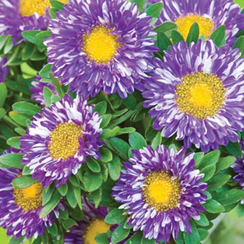 A close up of Callistephus chinensis 'Purple Burst' with white and purple striped petals and vivid yellow centers.