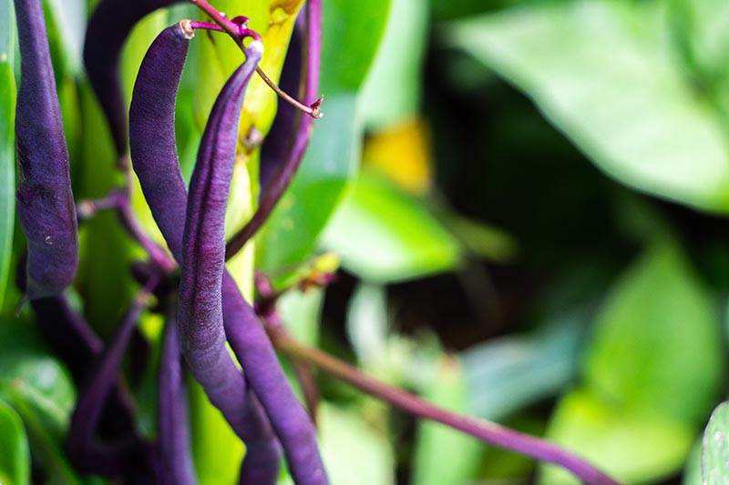 A close up of purple bush beans growing in the garden, surrounded by foliage on a soft focus background.