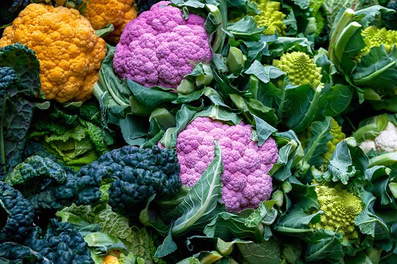 A close up of colorful cauliflower set in amongst green and orange vegetables.