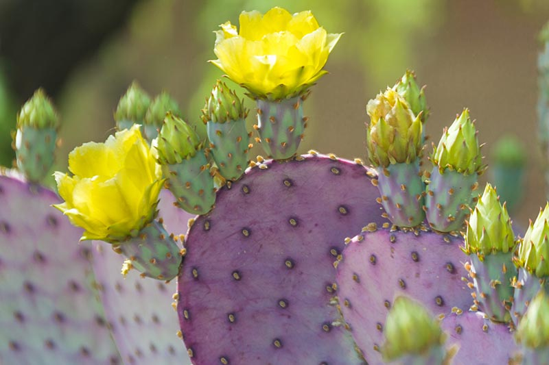 A close up of a prickly pear cactus with purple pads and yellow flowers on a soft focus background.