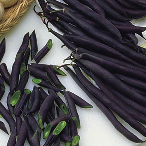 A close up of the purple pods of Phaseolus vulgaris 'Purple Queen' set on a white surface.