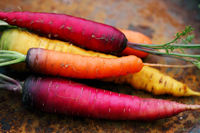 A close up of different colored carrots set on a rusting metal surface.