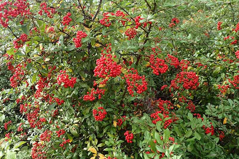 A close up of the bright red berries of the firethorn, or pyracantha plant.