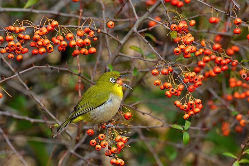 A close up of a small bird feeding on the berries of a firethorn, pyracantha plant.