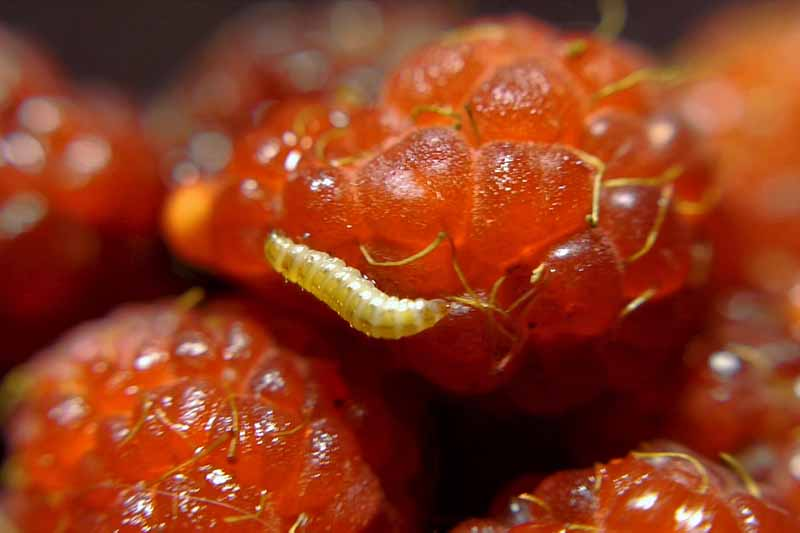 Close up of Raspberry Fruitworm (Butyrus) crawling on a berry.