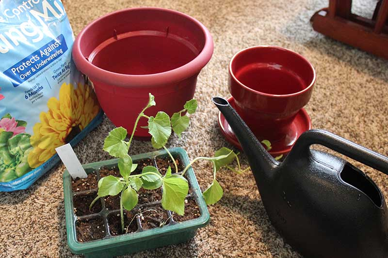 A close up of a seed starting tray with small seedlings ready for transplant, and in the background two large pots, a bag of potting soil, and a black watering can.