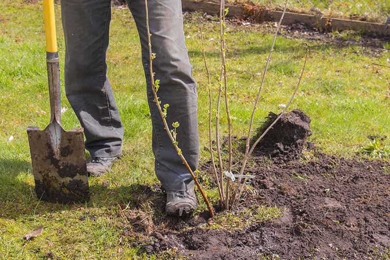 A close up of a gardener tamping down the soil around a recently planted fruit vine.