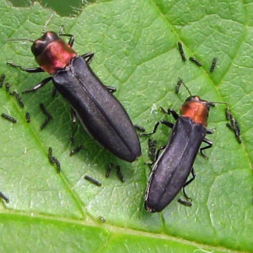 A close up of two red necked cane borer beetles on a green leaf.