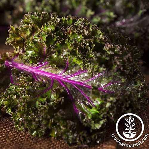 A close up of a leaf of Brassica oleracea 'Red Russian' with a deep purple stalk and frilled leaves set on a rustic surface. To the bottom right of the frame is a white circular logo and text.